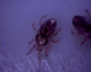 Mites found during Pest Control Inspection